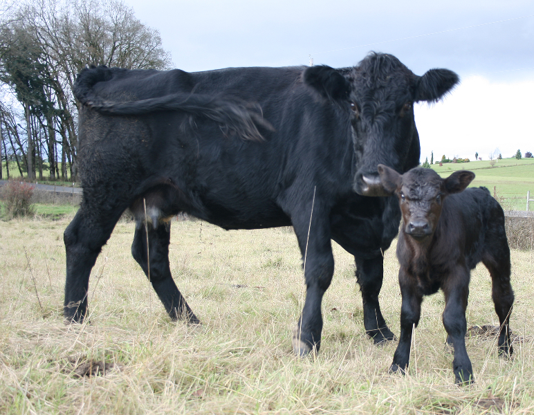 Delilah and calf