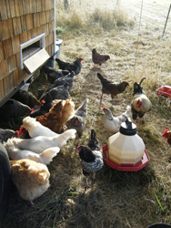 Hens in the morning