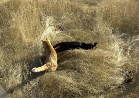 Cats hunting in the wheatfield