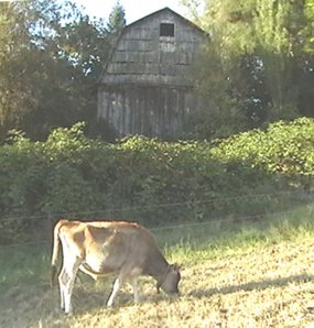 Cow in front of old barn