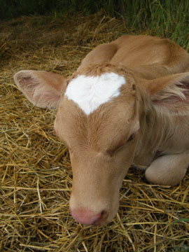 Calf with Heart Shaped Blaze