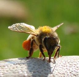 Honeybee bringing back pollen to the hive
