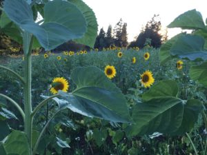mid-August, the acre of sunflowers starts to bloom. Another thousand still to come. Oh, the bees are happy!