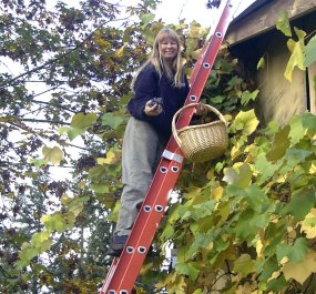 Jacqueline harvesting purple grapes